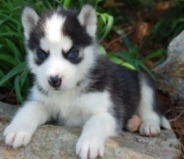 صور Husky Pups for Adoption 1