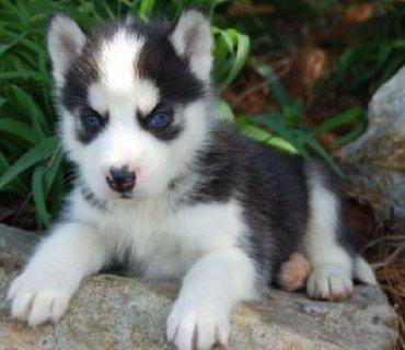 Husky Pups for Adoption