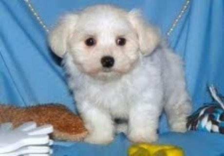 Intelligent Teacup Maltese PuppiesIntelligent Teacup Maltese Pup