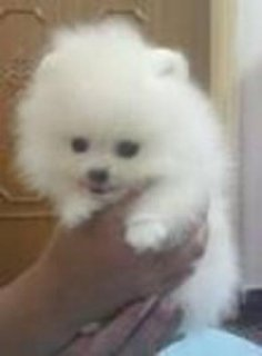 I have 4 PURE BREED Pomeranian puppies looking for a new good, l