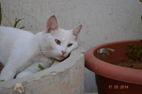 Angora girl cat