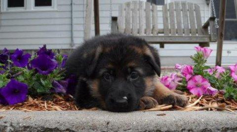 2 German Shepherd puppies for Rehoming56