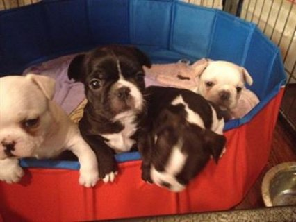 2 French bulldog puppies for sale