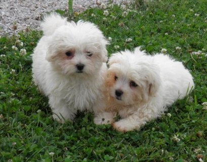 صور Healthy Potty Trained Maltese Puppies 1