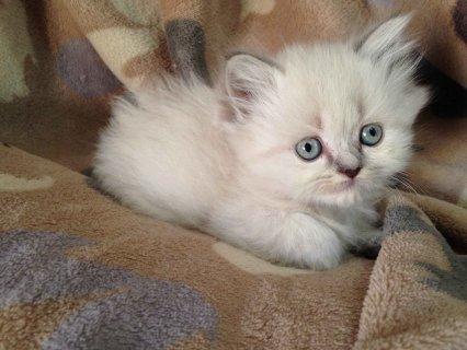 قطط بيور هملايا للبيع