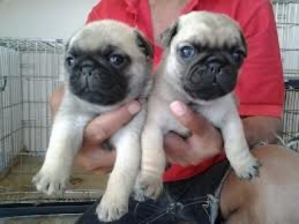 Male and female  Pug Puppies For Adoption