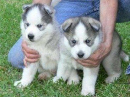 nMales and Female Siberian Huskies