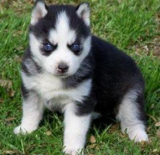 iAdorable Siberian Husky Puppies
