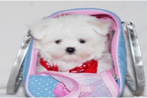 Home raised Teacup Maltese puppies