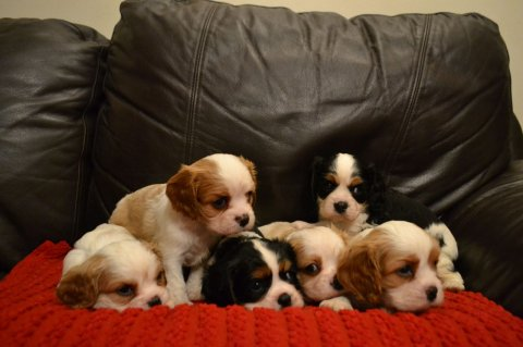 صور Kc Reg Cavalier King Charles Spaniel Puppies 1