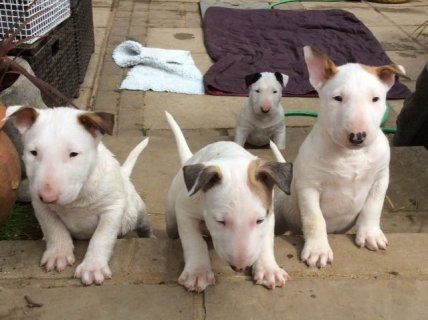Reluctant Sale Of My Gorgeous English Bull Terrier Puppies