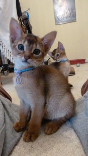 Abyssinian kittens lokking for a new home