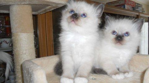 Beautiful Pedigree Birman Kittens