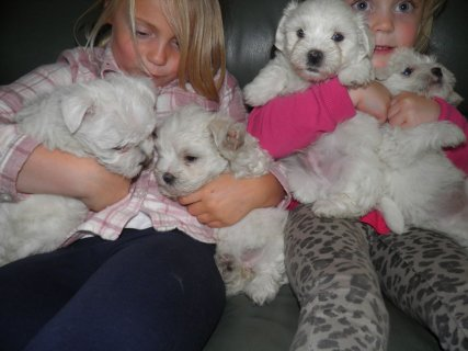 Beautiful tiny Maltese Terrier Puppies for adoption