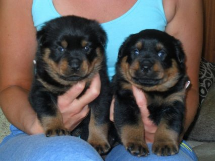 lovely quality Ped Rottweiler Puppies For Sale (kc Reg)