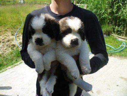 Super Saint Bernard Puppies for adoption
