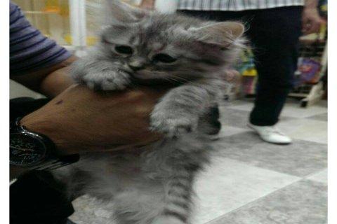 قطة شانشيلا للبيع