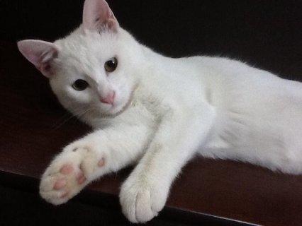 قطة انجورا اصلية