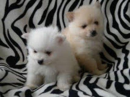 Micro Pomeranian Puppies for adoption for adoption