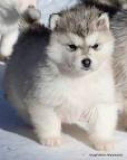 HEALTHY ALASKAN MALAMUTE FOR FREE ADOPTION