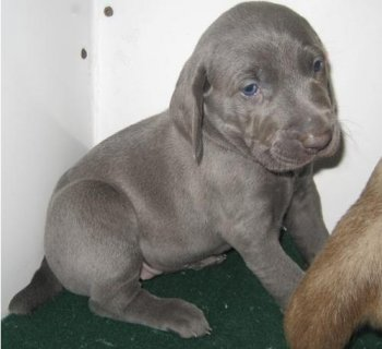 Adorable Male and Female Weimaraner puppies ready to go home6