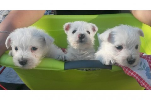 Lovely West Highland White Terrier Puppies For Aoption