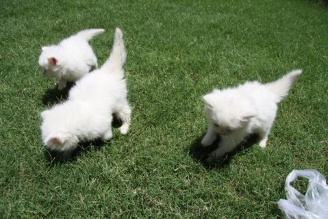 Pure white persian extreme male and  female kittens
