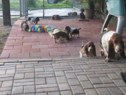 Basset Hound Puppies For Adoption
