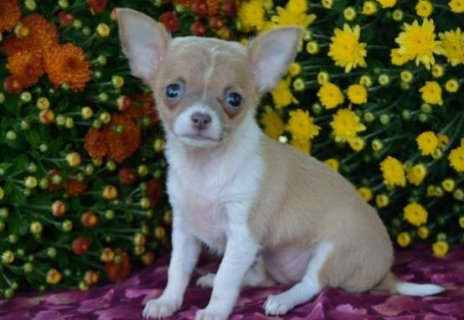 صور Charming chihuahua puppies for free to good homes 1