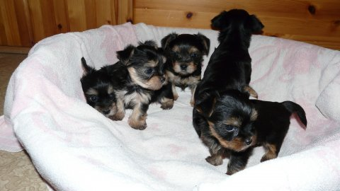 صور Yorkie Puppies Available For Re homing 1