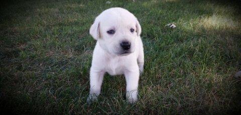 AKC English Bulldog Puppies