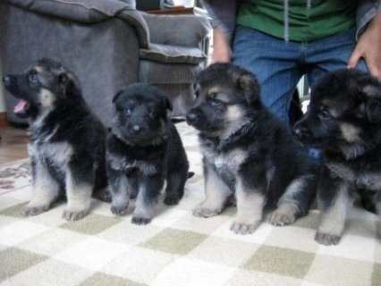 Gorgeous German Shepherd Puppies Ready For Adoption