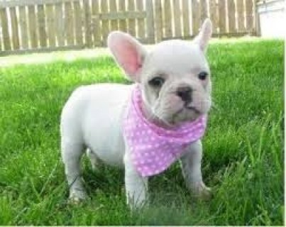 صور Adorable French Bulldogs for Adoption 1