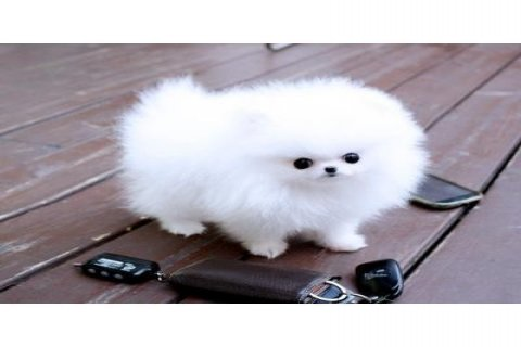 I have a 3 month old Pomeranian Puppy for Sale