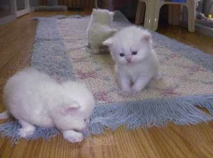 صور Friendly Lovely Teacup white Persian Kittens For Adoption 1