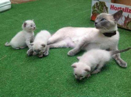 Beautiful white point siames kittens for adoption