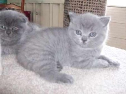 Beautiful Pure breed male and female British Shorthair kittens f