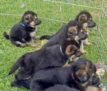 German Shepherd Puppies available for new homes