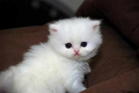 صور CFA Teacup Persian kittens ready to go now 1