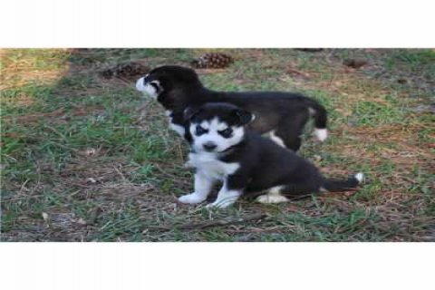 صور excellent male and female Siberian Husky Pupies for adoption 1