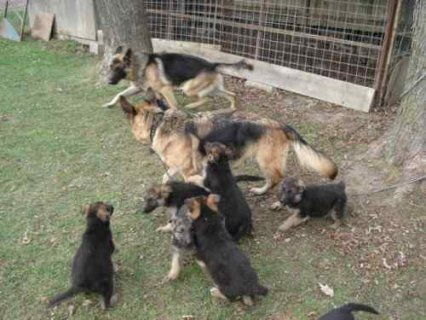 Well trained German shepherd puppies for rehoming