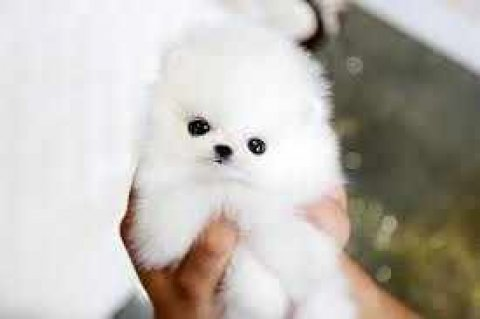 صور Super Cute Tiny Tea Cup Pomeranian Puppies Available For Adoptio 1