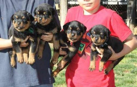 صور Cute Rottweiler Puppies For Rehoming 1