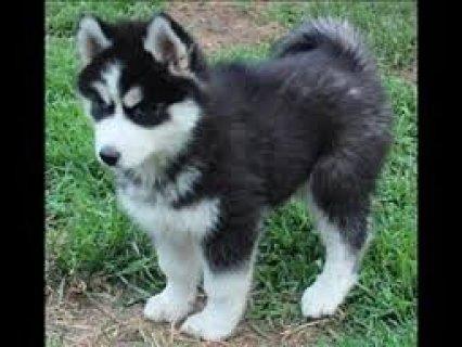 Christmas gift Siberian Husky Puppies for adoption