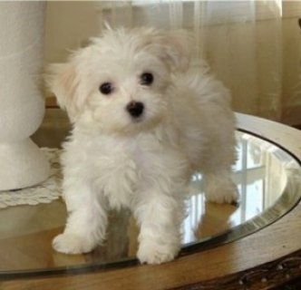 Cute Purebred Maltese Puppy  for adoption