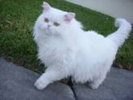 GOGEOUS AND ADORABLE PERSIAN KITTENs FOR ADOPTION