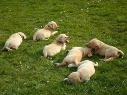 Cute male and female Adorable labrador  puppies For Adoption