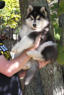 Sweet Husky Puppy