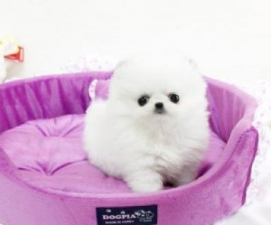 Little Breed Teacup Pomeranian Puppies Available For Xmas