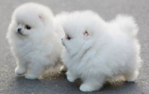 White Teacup Pom Puppies